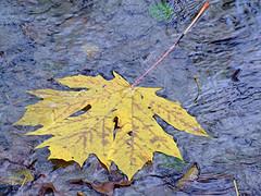 leaf floating in stream